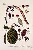 Alder tree Alnus glutinosa,artwork