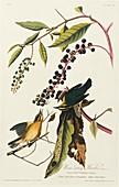 Worm-eating warblers,artwork