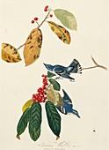 Cerulean warblers,artwork