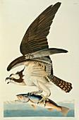 Osprey,artwork