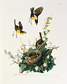 Yellow-breasted chat,artwork