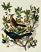Boat-tailed grackle,artwork
