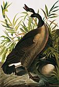 Canada goose,artwork