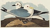 Black-legged kittiwake,artwork
