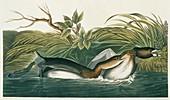 Pied-billed grebe,artwork