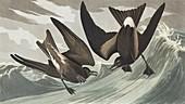 Leach's storm-petrel,artwork