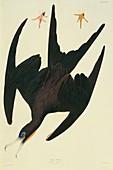Magnificent frigatebird,artwork