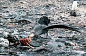 Giant Petrel eating a penguin