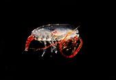 Copepod crustacean