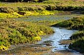 Salt marsh habitat