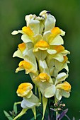 Common toadflax flowers
