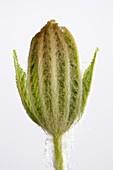 Aesculus hippocastanum leaf development