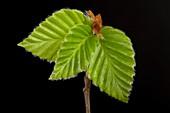 Fagus sylvatica leaf bud opening