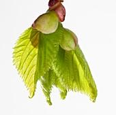 Tilia platyphyllos leaf bud opening