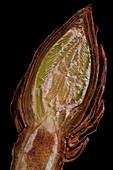 Aesculus hippocastanum leaf bud