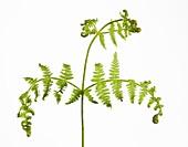 Pteridium aquilinum leaves developing