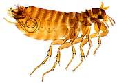 Chicken flea,light micrograph