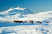 Cattle in the Scottish Highlands