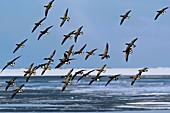 Brent goose flock in flight