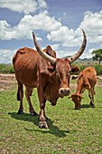 Abyssinian highland zebu with its calf