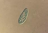 Paramecium protozoan,light micrograph