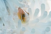 Pink anemonefish sheltering