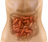Stomach and intestines,artwork