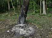 Fire damaged tree