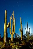 Moon setting over saguaro cacti