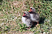 Arctic tern chicks