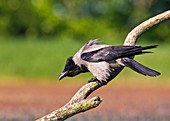 Hooded crow on a branch