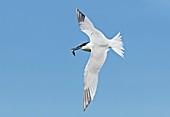 Sandwich tern carrying a fish