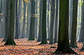 Beech tree forest,UK