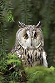 Long-eared owl in a tree