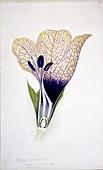 Black henbane (Hyoscyamus niger) flower