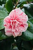 Camellia 'Contessa Lavinia Maggi'