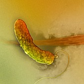 Cholera bacterium,TEM