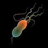 Salmonella bacteria,artwork