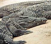 Nile crocodiles