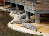 Nile crocodiles at a crocodile farm