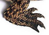 Rear leg of young Nile crocodile