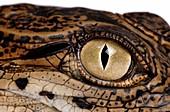 Eye and ear of a young Nile crocodile