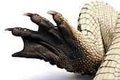 Rear leg of a young Nile crocodile