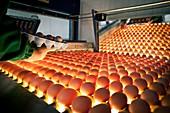 Egg packaging line