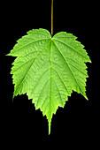 Mountain Maple Leaf (Acer spicatum)