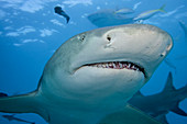 Lemon Sharks (Negaprion brevirostris)