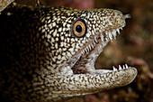 Stout Moray Eel (Gymnothorax eurostus)