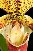 Orchid (Paphiopedilum x Americain)