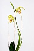 Orchid (Phragmipedium sp.)