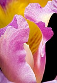 Orchid (Cattleya sp.) flower